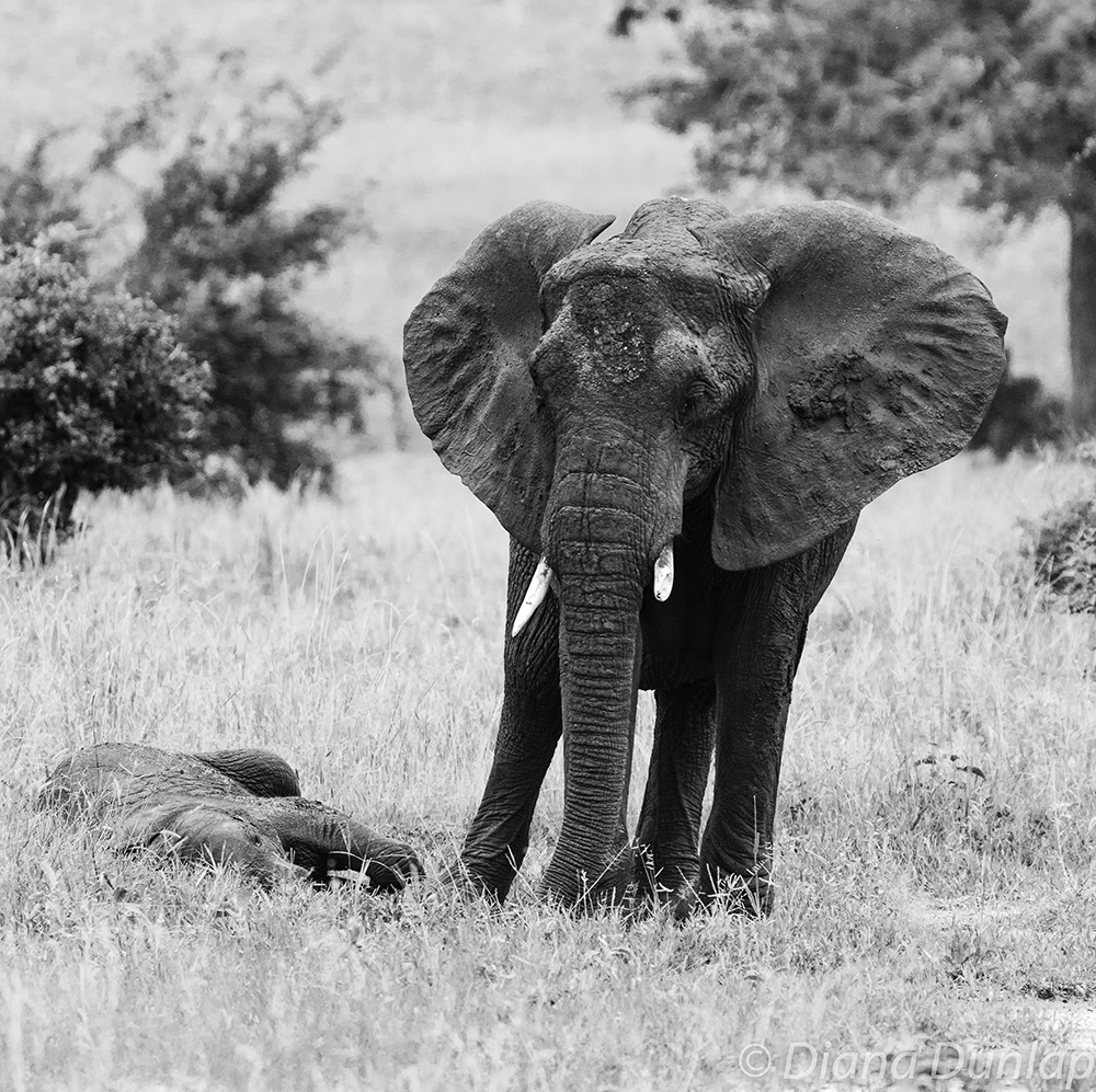 Grieving Mother Elephant