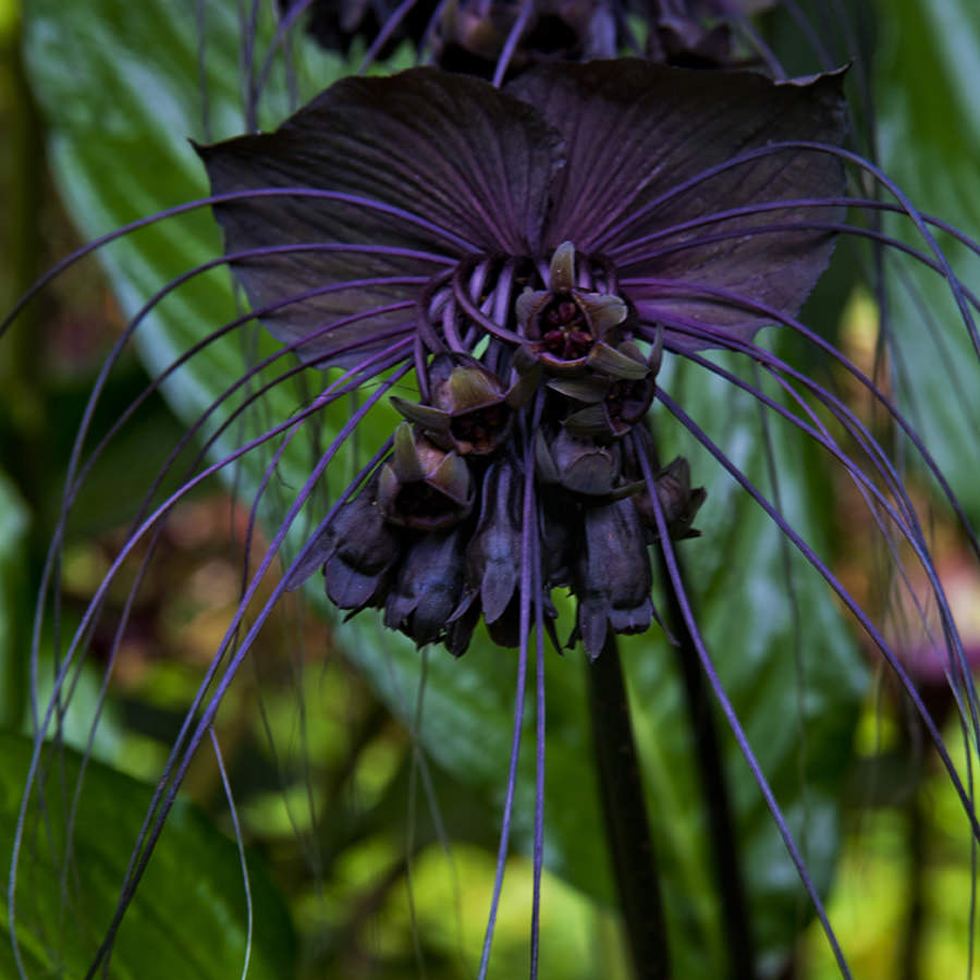 Black Orchid, Hawaii