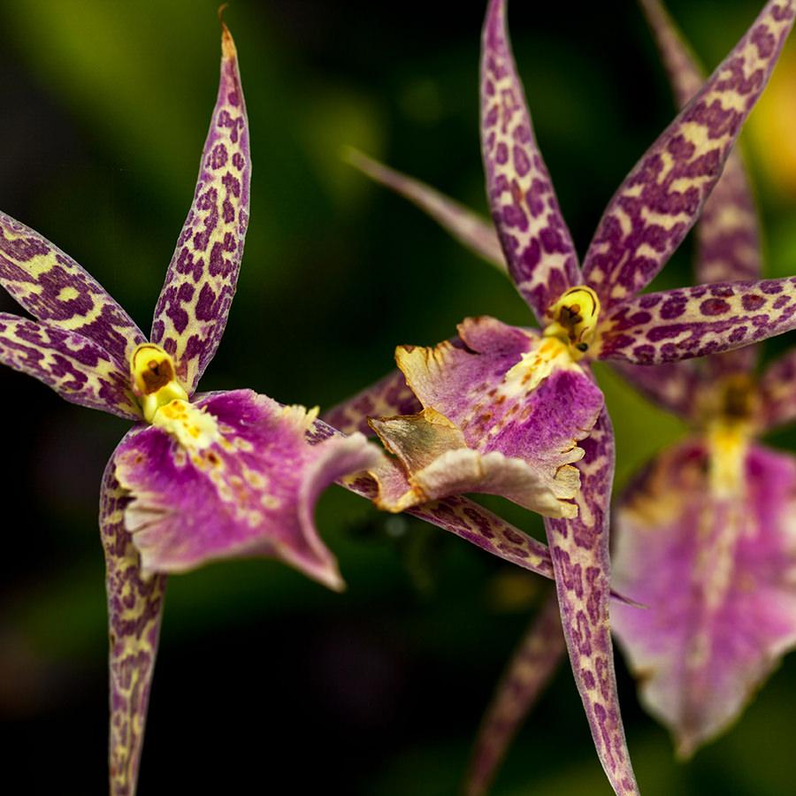 Flora We, Hawaii