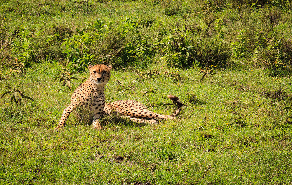 Cheetah on Alert, Tanzania, Africa