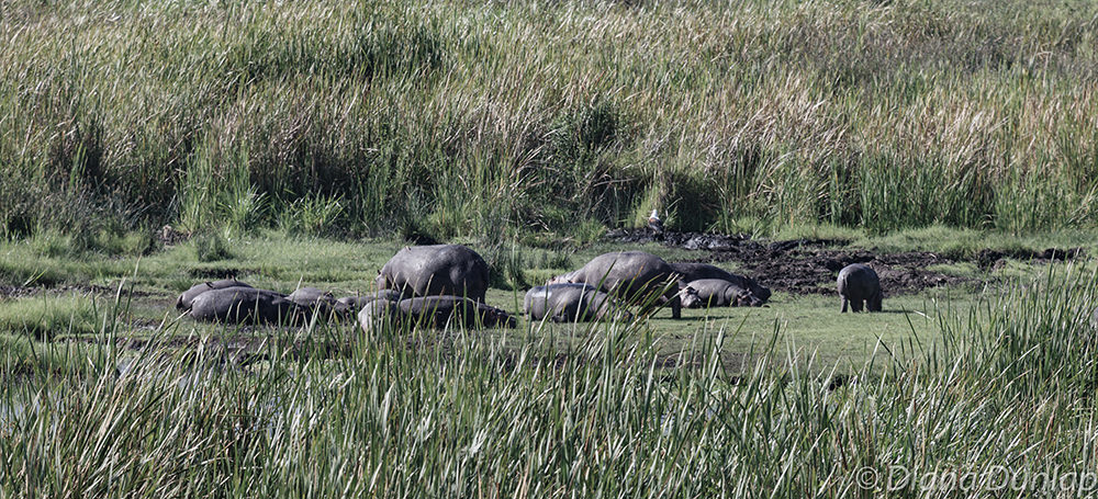 Hippos in Crater